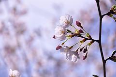 晴れの桜2−1